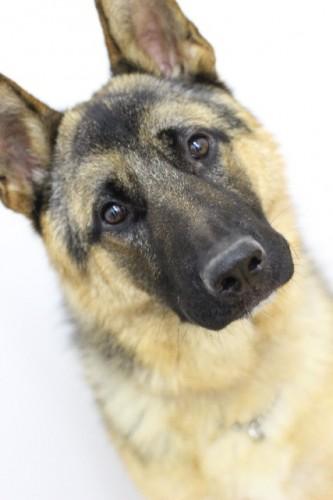 犬の嗅覚で前立腺ガンを発見?