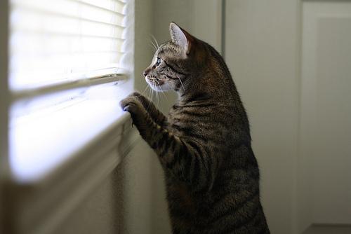 猫フィラリア症