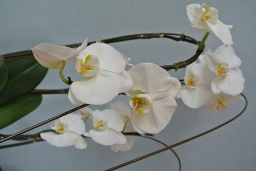 胡蝶蘭2度目の開花☆