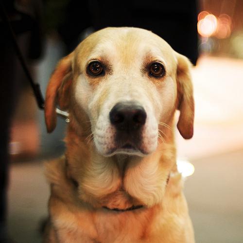 犬用人工血液