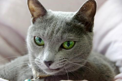 猫 SDMA