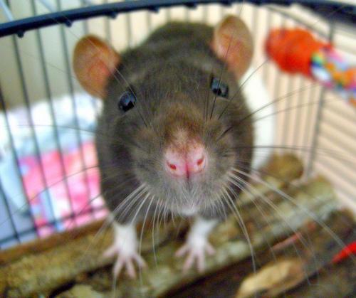 ネズミ レプトスピラ