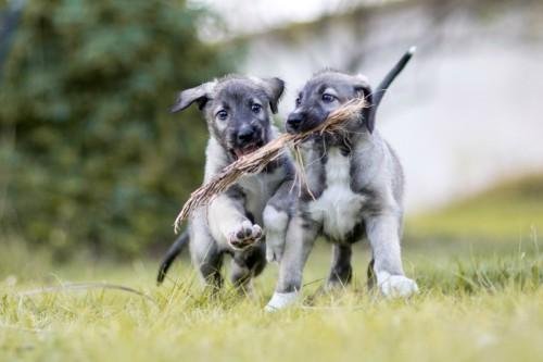 犬 一卵性双生児