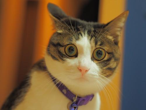 猫の慢性腎臓病に新たな薬☆
