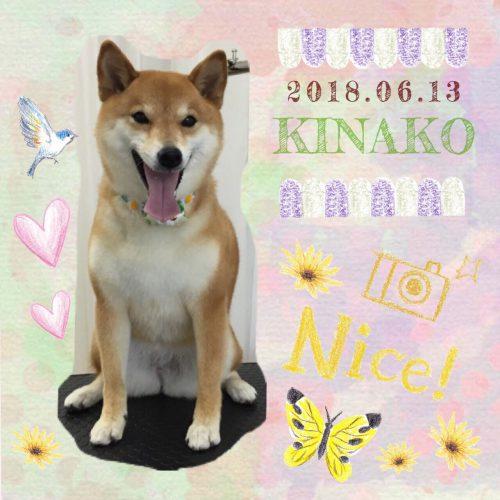 2018.6.13きなこ